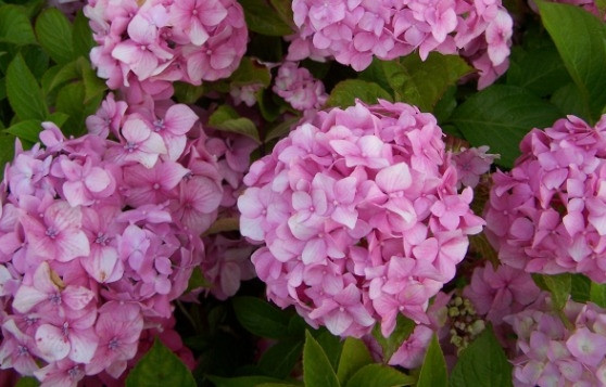 http://www.bacara-gardens.ro/arbusti-decorativi.html